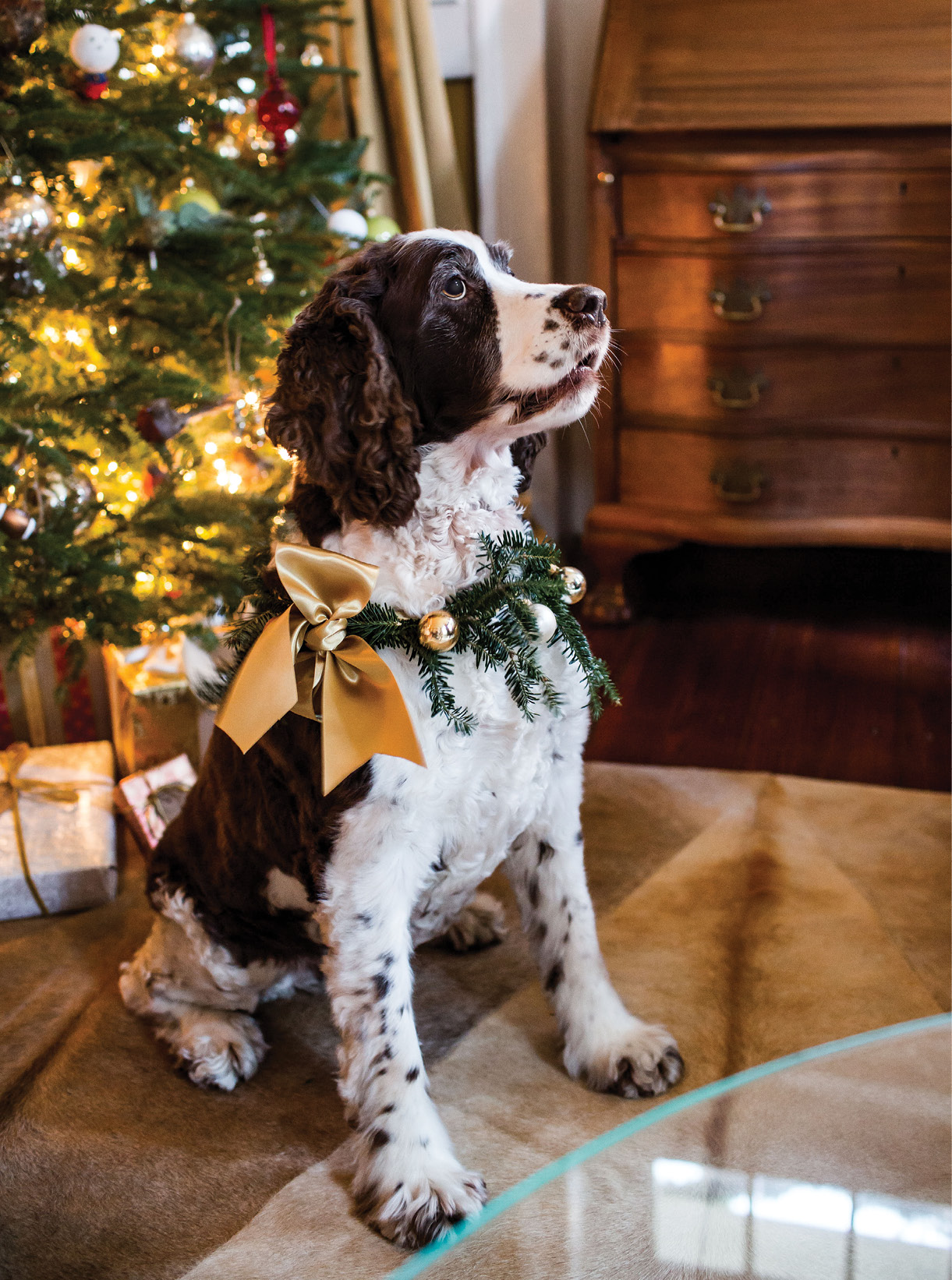 "SHOP AT HOME: Georgia sports a posh collar made from choice Christmas scraps: ribbon from wrapping presents, a few ""borrowed"" ornaments, and sprigs from the tree."