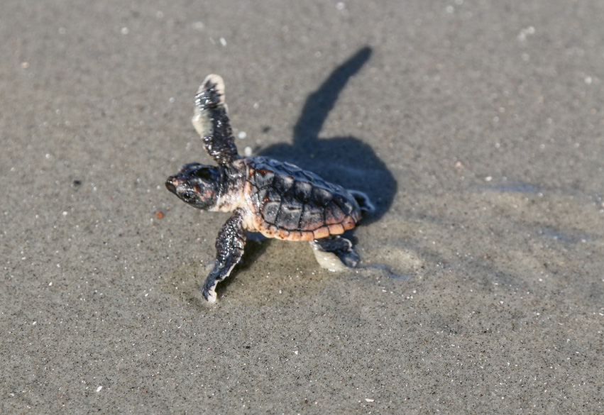 ...and ensure the hatchlings are heading in the right direction to the ocean.
