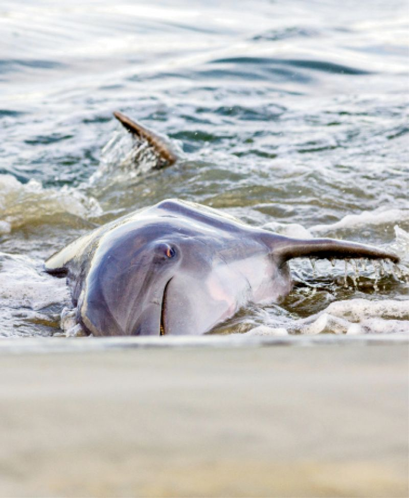 """Strand feeding is a unique learned behavior, and Charleston is one of the few places in the world where dolphins are known to do it.""  —Lauren Rust, Lowcountry Marine Mammal Network"