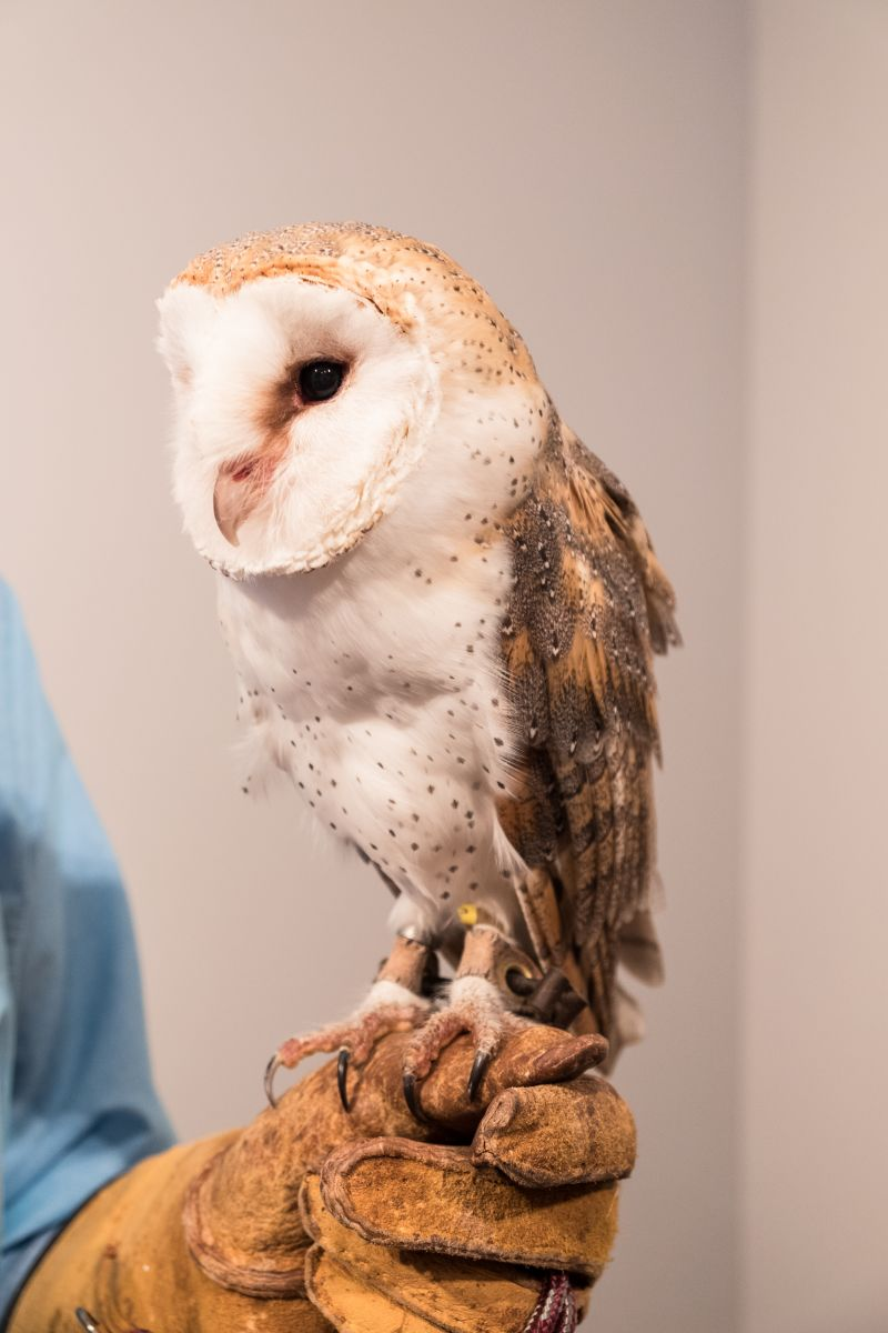 An owl visitor from The Center for Birds of Prey