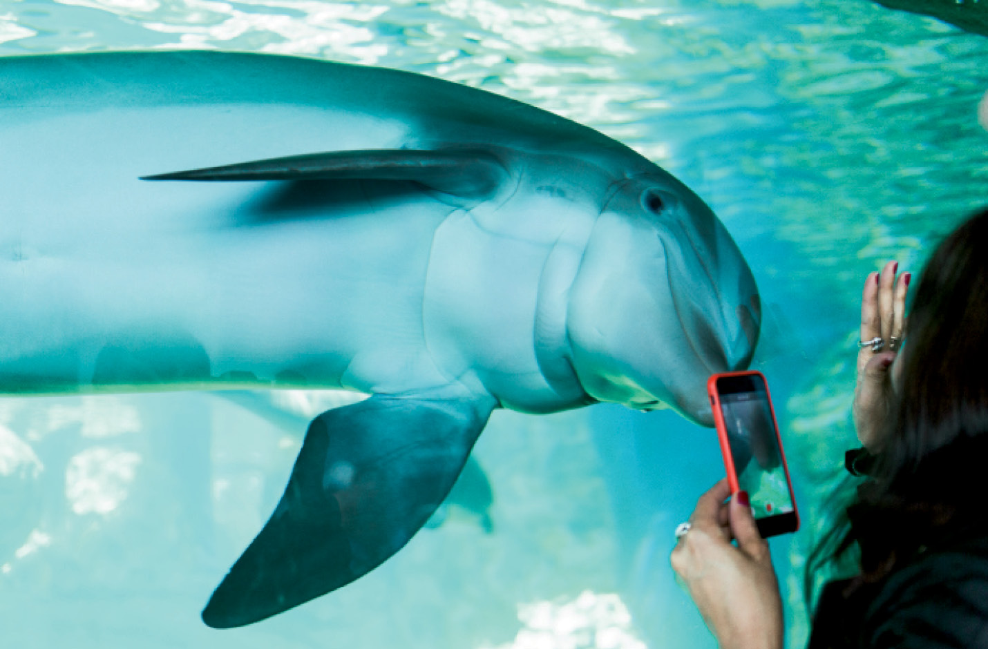 "Captivating & Captive: The Marine Mammal Protection Act prohibits the ""take"" of wild marine mammals, including dolphins, without a permit. Some animals born in captivity remain in controlled environments, such as at Marineland, a former amusement park in Florida that's now part of the Georgia Aquarium dolphin conservation program."