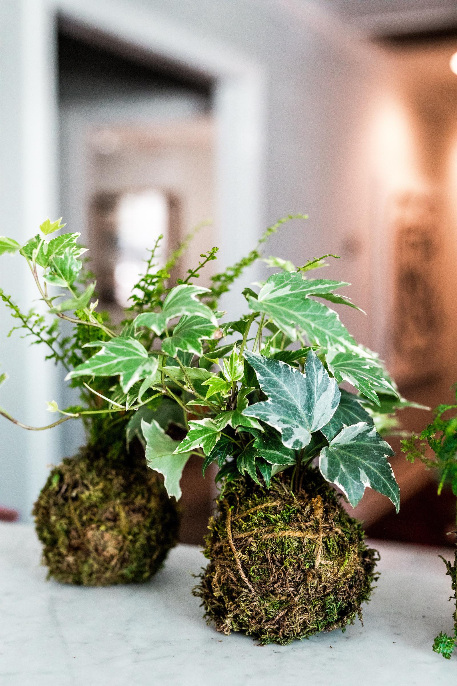Ivy is an easy indoor grower.