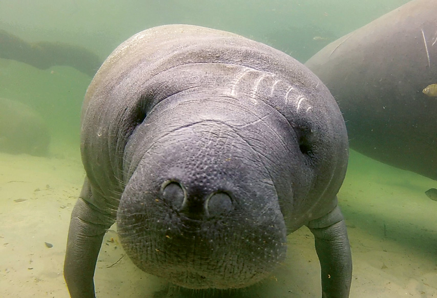 """West Indian Manatee (Trichechus manatus) - Being an alert boater, especially in tidal creeks where manatees like to feed, goes a long way toward helping these mammals avoid boat collisions, which are the number one threat to manatees. Find additional resources at <a href=""""https://www.fws.gov/southeast/wildlife/mammals/manatee/"""">https://www.fws.gov/southeast/wildlife/mammals/manatee/</a>."""