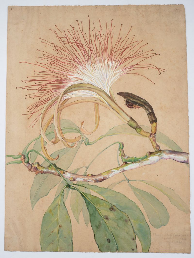 Taylor painted this detailed illustration of the cocoa bean tree's branch, leaves, buds, and flowers from the jungles of Kartabo, British Guiana, in watercolor and gouache (Maw-a-maw, Cocoa bean, 1920).