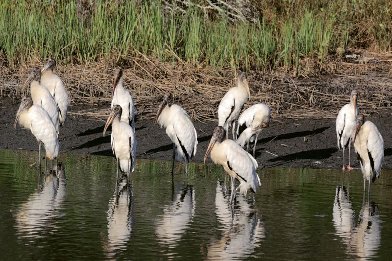 On the Rebound: In 2013, South Carolina had 21 wood stork colonies (six in Charleston County) comprised of 2,020 nesting pairs—a significant increase from the single colony of 11 pairs recorded in 1981.