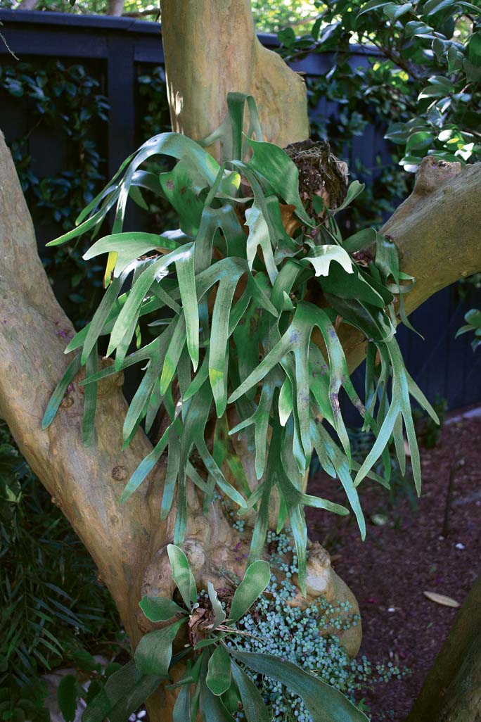 A staghorn fern in one of the crepe myrtles that toss pink confetti each summer (this one was growing over an old millstone that the Massamillos dug up and set into a walkway).