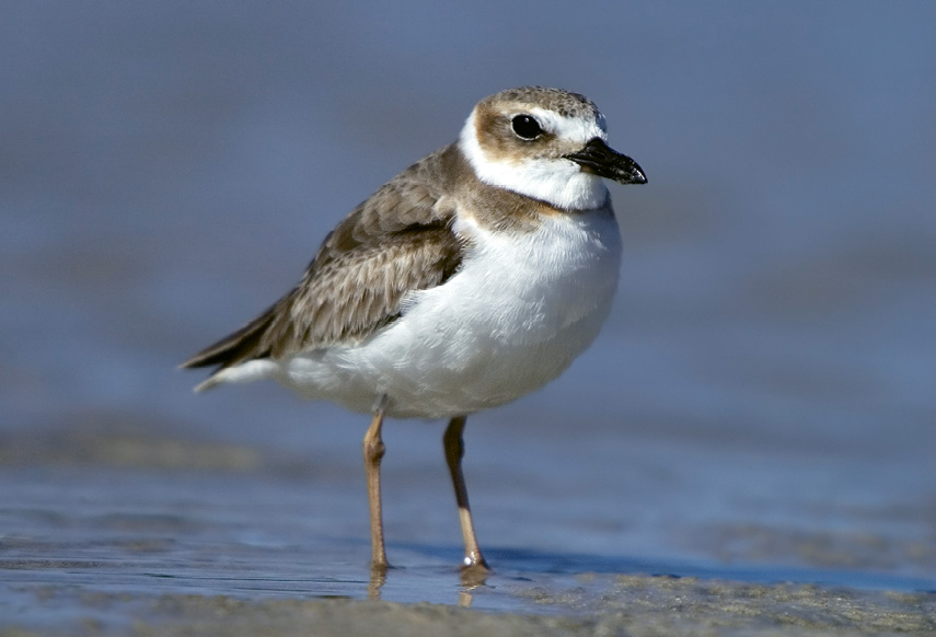 """Wilson's Plover (Charadrius wilsonia) - These birds might feign a broken wing to lure predators away from their chicks. Learn more at <a href=""""http://www.dnr.sc.gov/wildlife/species/coastalbirds/"""">http://www.dnr.sc.gov/wildlife/species/coastalbirds/</a>."""
